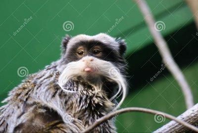 Questa strana creatura è una scimmia: il Tamarino imperatore.