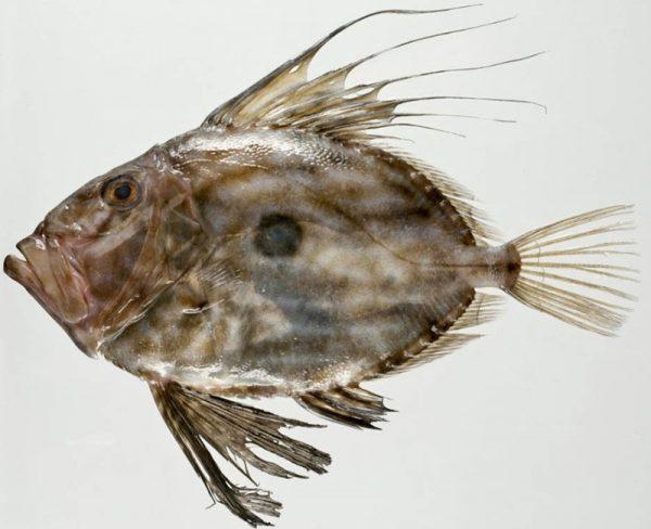 John Dory (pesce San Pietro): una specie di pesce.