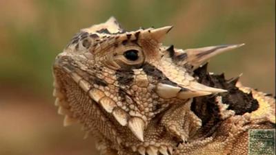 A sinistra è una lucertola cornuta  (Horned Lizard)