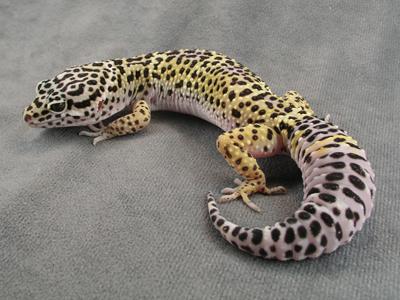 La lucertola in basso a sinistra è un Leopard Gecko