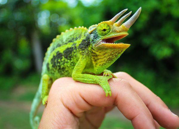 Il responsabile della cantina della birra è una creatura nota come camaleonte di Jackson o camaleonte a tre corna di Kikuyu.