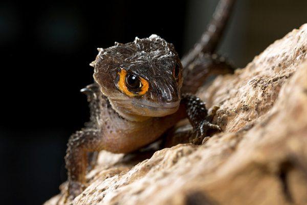 """Il compagno del camaleonte è un """"scinco coccodrillo"""""""